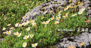 Wildflower 北海道