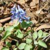 エゾエンゴサク (蝦夷延胡索) - Wildflower 北海道 ブログ